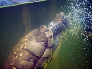 черепахи_006