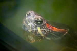 черепахи_007