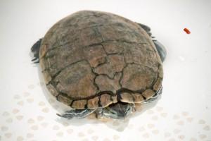 черепахи_009