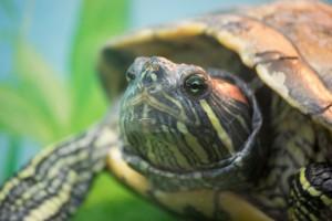 черепахи_011