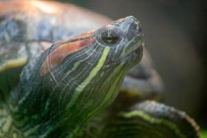 черепахи_014
