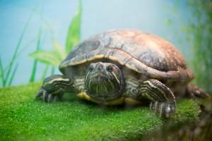 черепахи_017