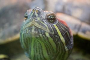 черепахи_018