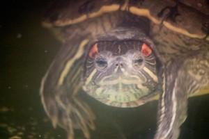 черепахи_022