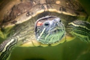 черепахи_023