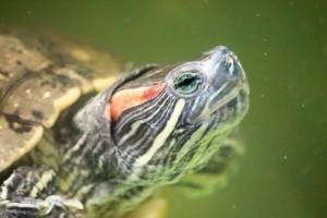 черепахи_024