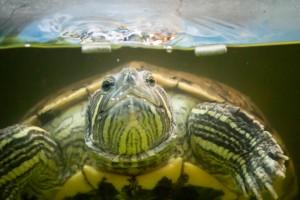 черепахи_025