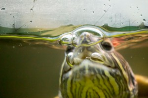 черепахи_029